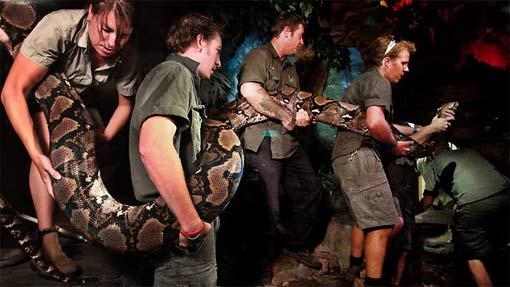 137 килограммовую змею «усадили» на диету