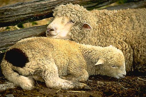Новозеландцы продвигают подстригание овец в олимпийскую программу