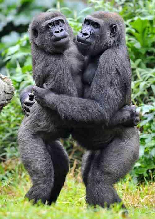 У горилл и хомяков тоже есть чувство юмора