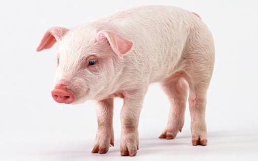 Прогулка свиньи по шоссе стала причиной 5 километрового затора
