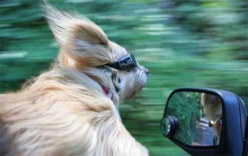 Собаки путешественницы скрылись от ГИБДД на автомобиле