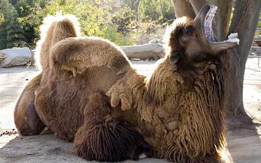 От серийных самоубийств помогают мертвые верблюды