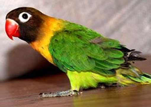 Заблудившийся попугай прочирикал полицейским адрес своего дома