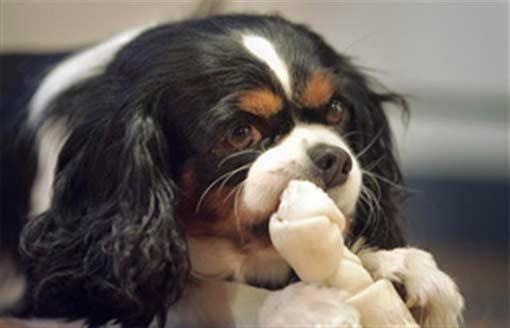 Собака по кличке Пенни учуяла рак в груди своей хозяйки