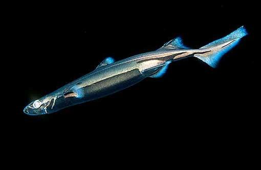 Зачем акулам светиться, как лампочкам?