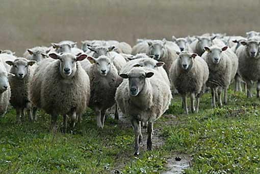 Уругвайские ученые вывели светящихся овец