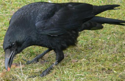 Ворона и её интеллект
