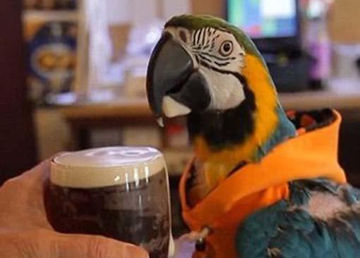 Странные птицы: попугай Джек любит рок и пьет пиво